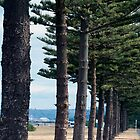 Conifer by irishlad57