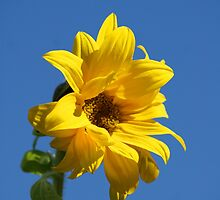 Sunny Sunflower by Sally J Hunter