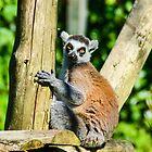 Lemur by Jon OConnell