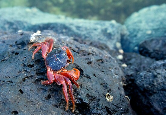 red crab by Sigita Playdon