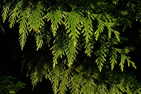 Cedar Light and Dark by SheenaMarie