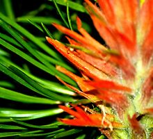 Indian Paint Brush by SheenaMarie