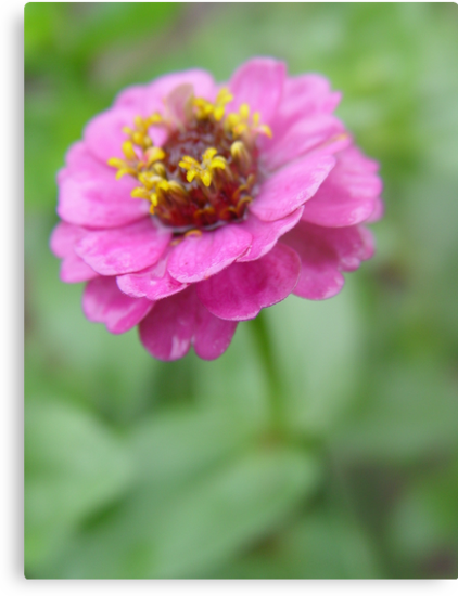 Zinnia in the rain. by Annabella