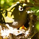 Silvereye and chicks by Adrian Kent