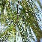 Pine in wind by Cranemann