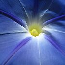 Morning Glory Star by jsmusic