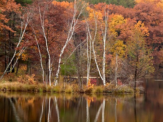 Autumn Birches by Thomas Young