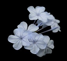 Pale Blue Plumbago Isolated on Black Background by taiche