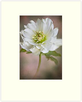 Christmas Rose by Jacky Parker