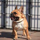 French Bulldog by mrivserg