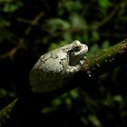 Grey Tree Frog by jessicacbarker
