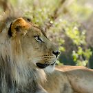 The African Lion  by Saija  Lehtonen