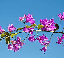 Bougainvillea by Vac1