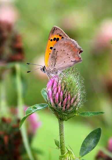 Small Copper on Red Clover - Lycaena phlaeas by Lepidoptera