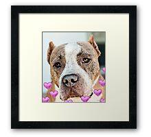 Pit Bull Dog - Pure Love Framed Print