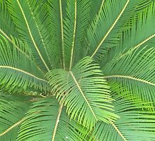 Cycas revoluta (Sago palm) by Maree  Clarkson