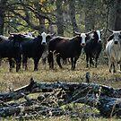 Cattle Crossing by Jamie Lee