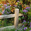 Asters on Fence by Nancy Barrett