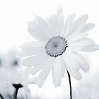 Monochrome Daisy by BPhotographer