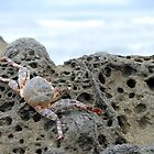 Crab on a rock by Miriam Gordon