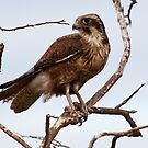 Brown Falcon by Ian Creek