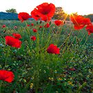 Poppies and sunrise by yellowfield