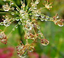 Rain drops on a Fennel seed head by janett8