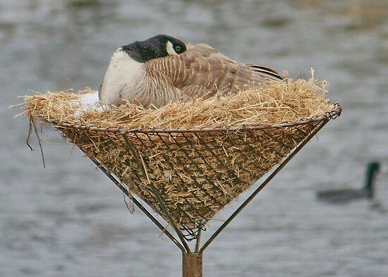 Goose Nesting by AnnDixon