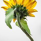 Sunflower by John Burtoft