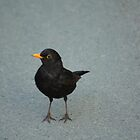 common blackbird by Jicha