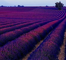 Lavander Farm by photoj