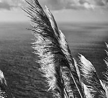 Pampas Grass in Big Sur B&W by GJKImages
