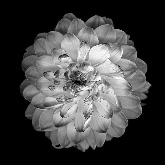 Dahlia by Jeffrey  Sinnock