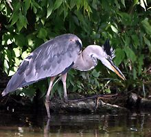 Fishing Heron by Johnny Furlotte