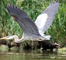 Heron in flight by Johnny Furlotte