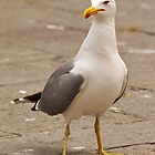 Pretty Gull by fitch