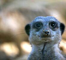 Funny Meerkat by Vac1