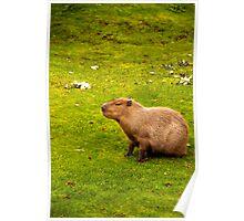 Capybara Poster