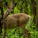 White-tailed Deer by Skye Hohmann