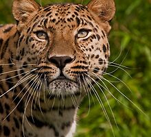 Amur Leopard v2 by JMChown