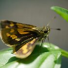 An Aussie Skipper in Macro (1) by Larry Lingard-Davis
