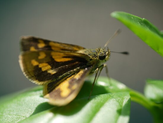 An Aussie Skipper in Macro (1) by cullodenmist