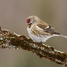 Common Redpoll Deep in Thought  by Bill McMullen