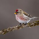 Common Redpoll Portrait by Bill McMullen