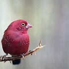 Crimson Finch by Marion  Cullen