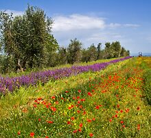 Poppies & Sage in Tuscany by vivsworld
