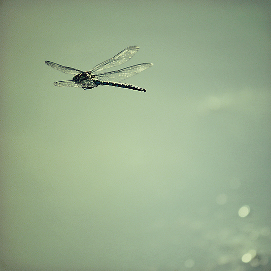 Dragonfly by Anne Staub