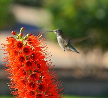 Hummingbird by Eleu Tabares
