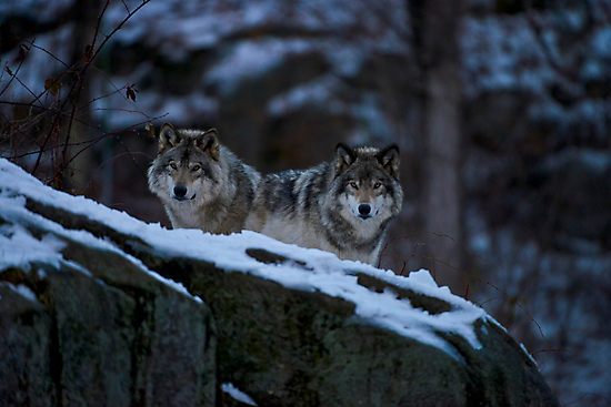 Timber Wolves In Late Evening. by Michael Cummings
