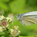 Cabbage White by William Brennan
